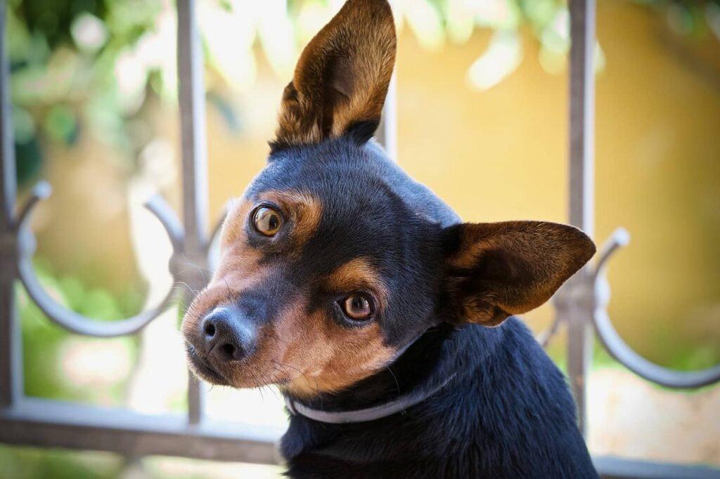Hund Ohren reinigen